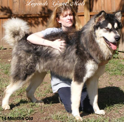 Our Handsome Malamute Boys The Arctic Wooly Bully Of Legends Giant